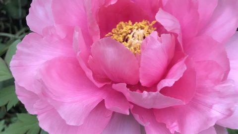ホロンPBIのホロン俳句講師の母の家の庭が花盛りです。
